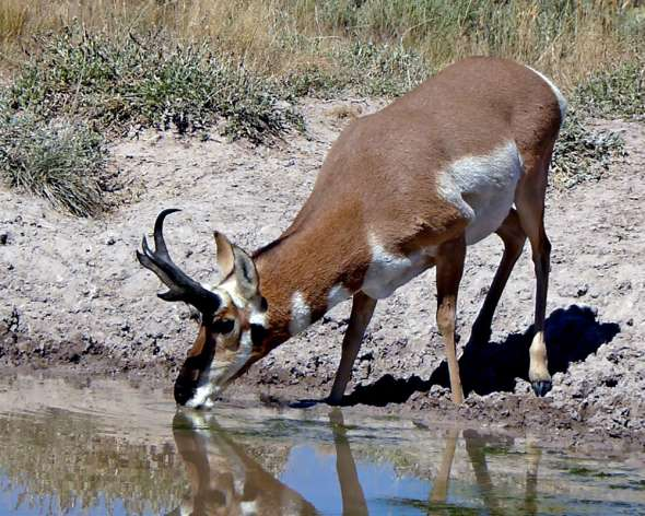 antelope buck