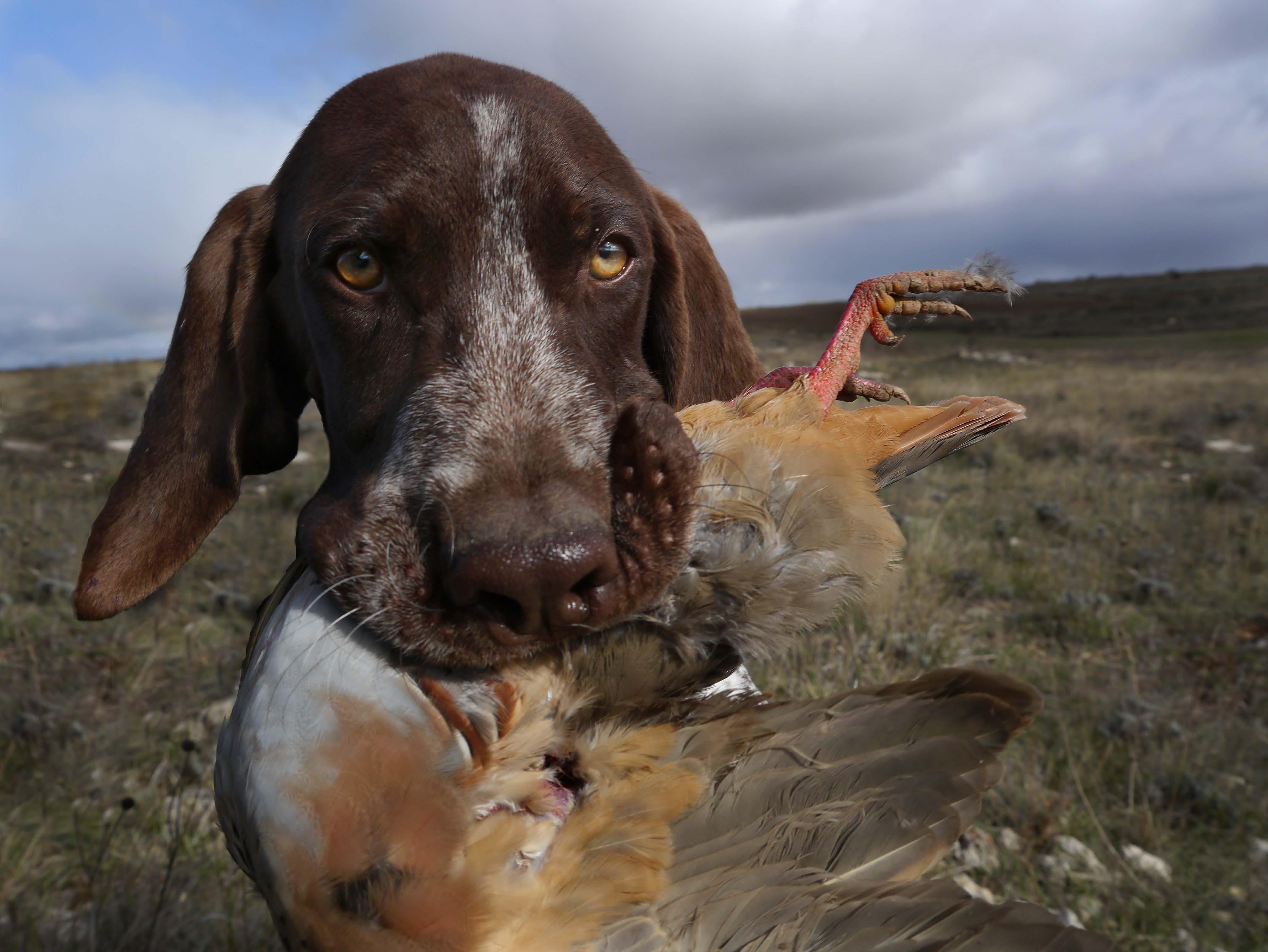 Deer Hunting Dog Breeds Dog Breeds