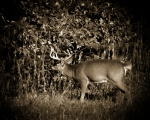 What a bow hunters dreams seeing this from a treestand.