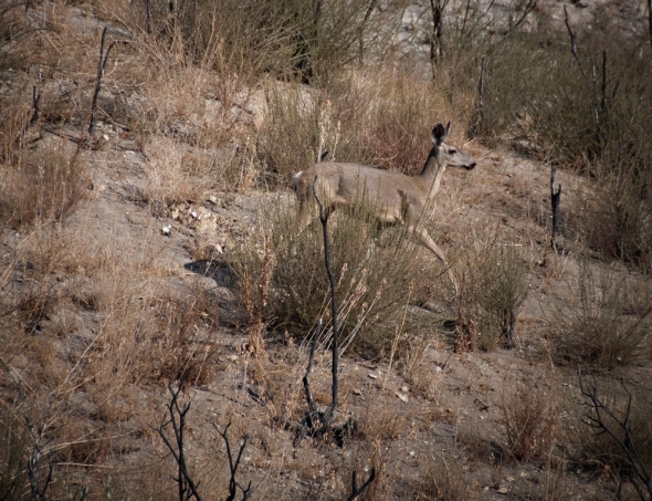 SoCal mule deer spotted on a recent hunt