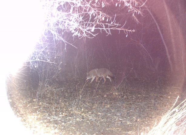 Big Ole Coyote